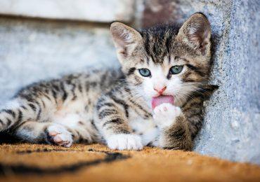 ¿Por qué los gatos lamen su pelaje?