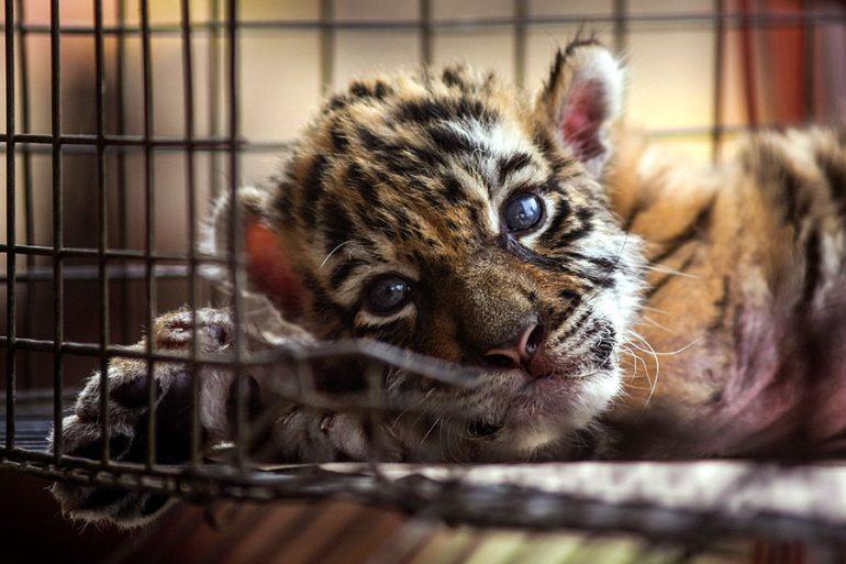 Tigre Covid