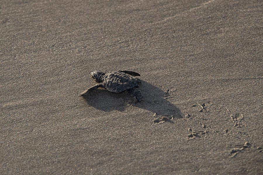 Liberación de tortugas en Acapulco