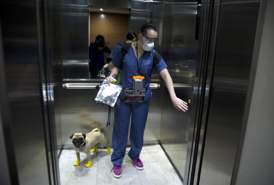 Harley, el pug terapeuta que alivia el estrés de los médicos mexicanos