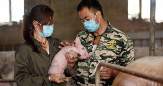Investigadores descubrieron en China una nueva cepa del virus de la gripe porcina que podría causar una futura pandemia.