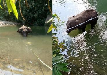 Detienen a un hombre por la muerte de una elefanta embarazada que comió fruta con explosivos